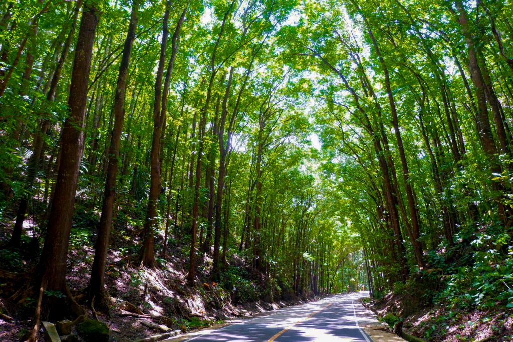 "ALT=""bohol travel guide and the manmade forest"""