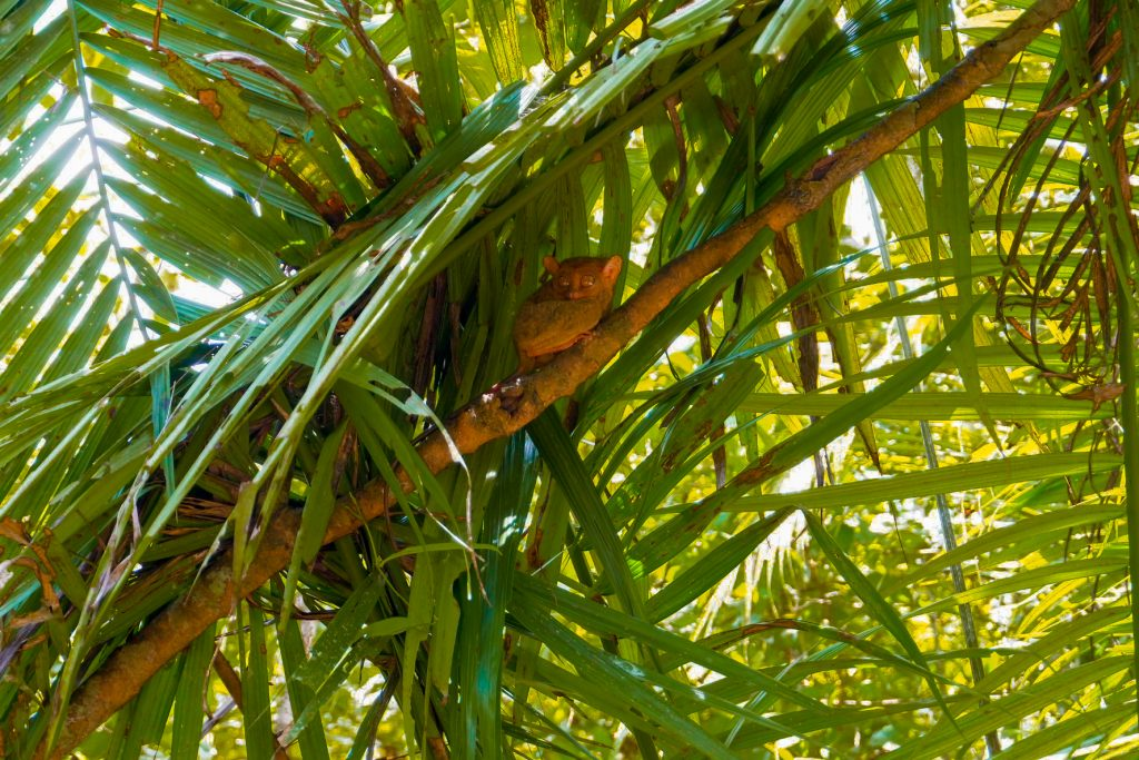 "ALT=""bohol travel guide and the smallest primate tarsier"""