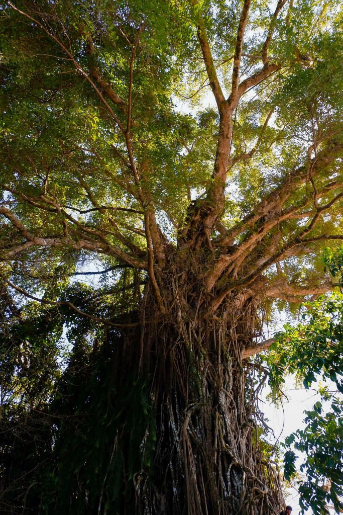 "ALT=""baler travel guide and the balete tree"""