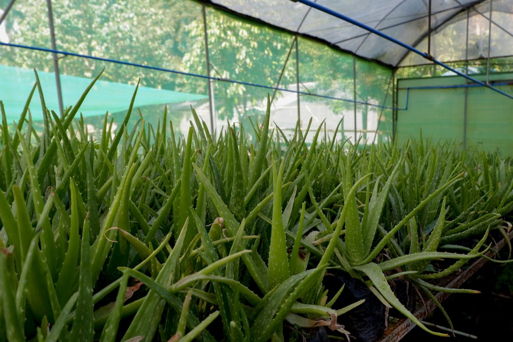 "ALT=""aloe vera plants to see at win farm"""