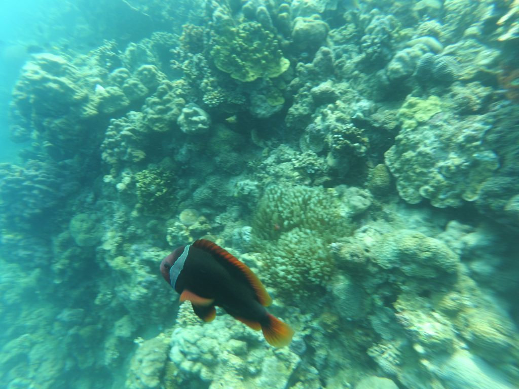 "ALT=""the fish to find while scuba diving in batangas"""
