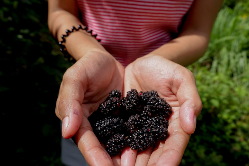 "ALT=""mulberry fruit picking"""