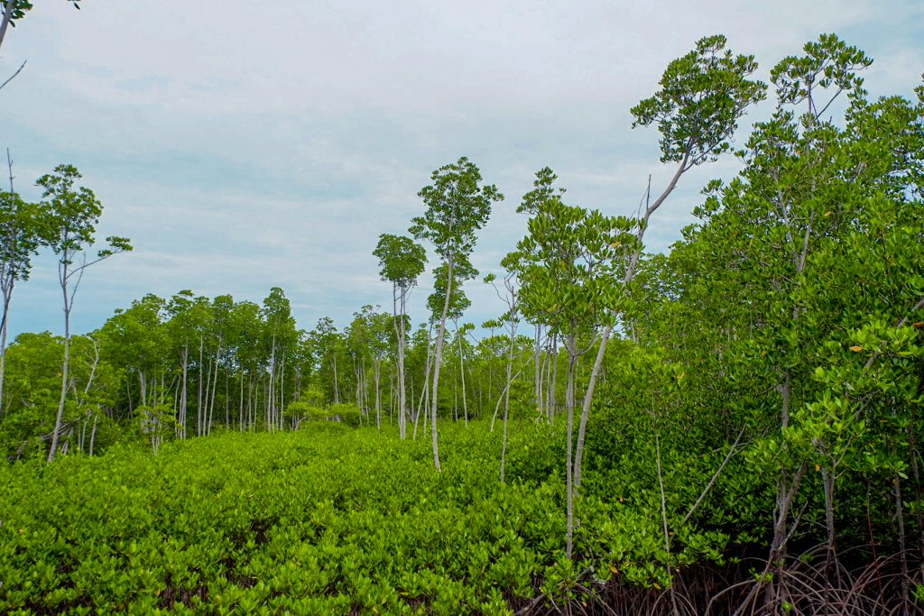 "ALT=""the mangrove forest protection area bantayan island"""