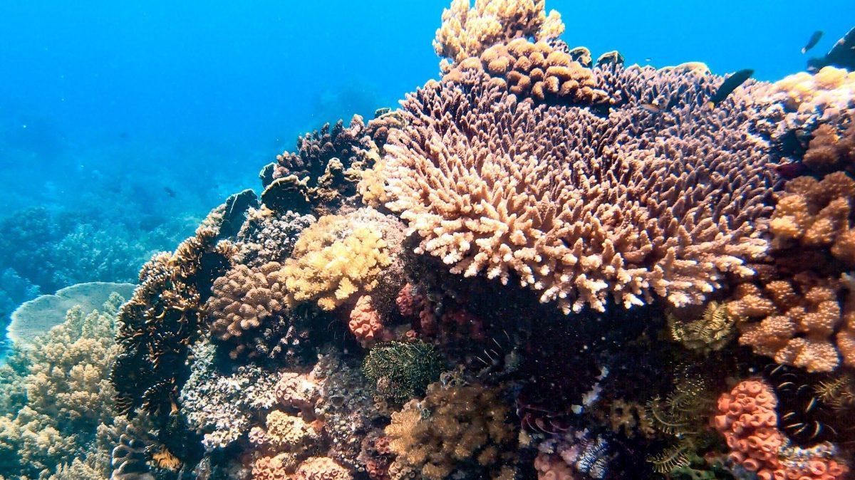"""ALT=""""dive7000 batangas healthy corals freediving"""""""