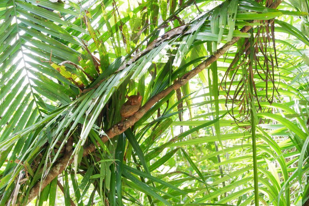 """ALT=""""tarsier smallest primate philippines"""""""